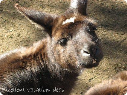 Australia Vacation Ideas - Kangaroo