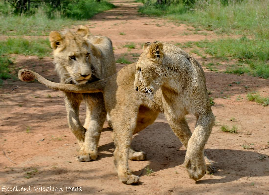 Puncture and Carly enjoying each other on the walk with lions tour