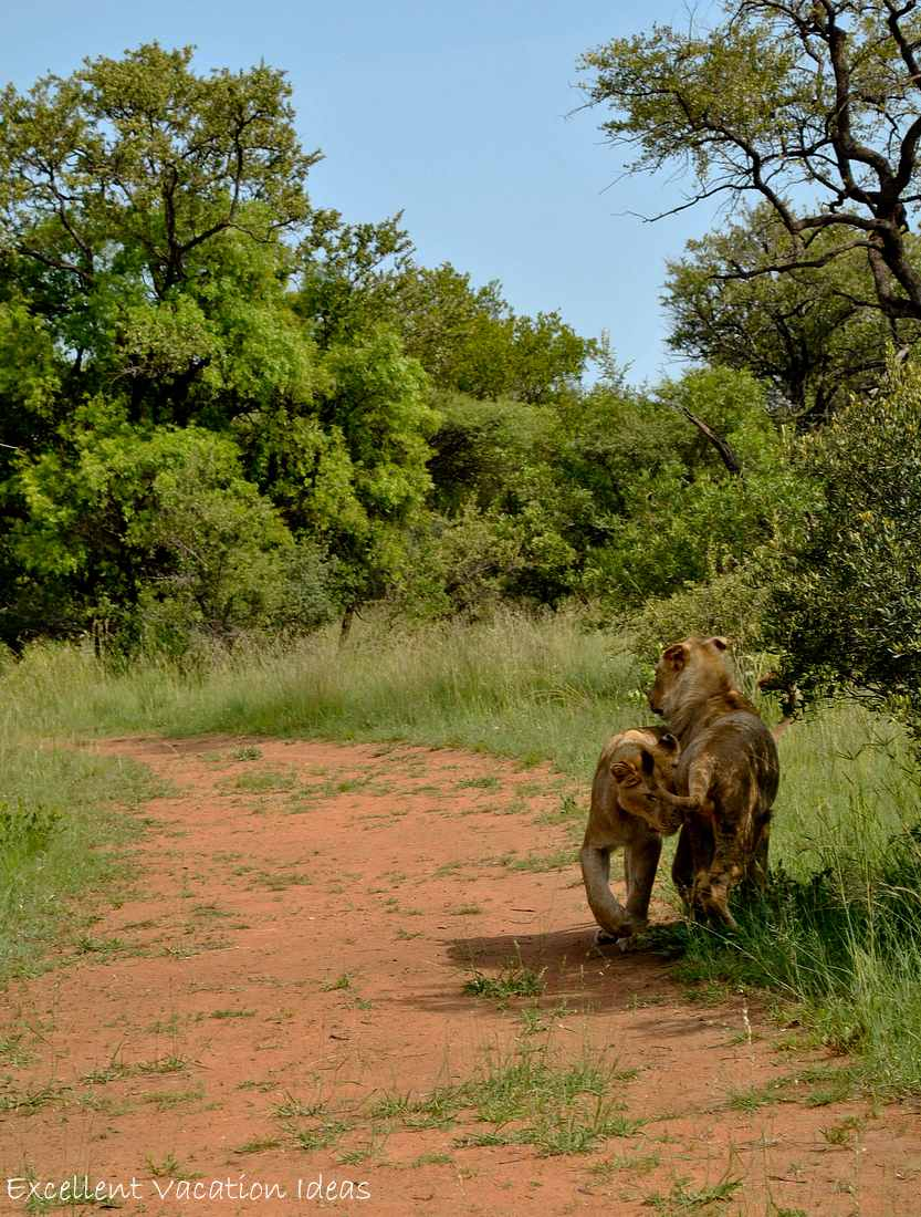 Going for a stroll on the walk with lions