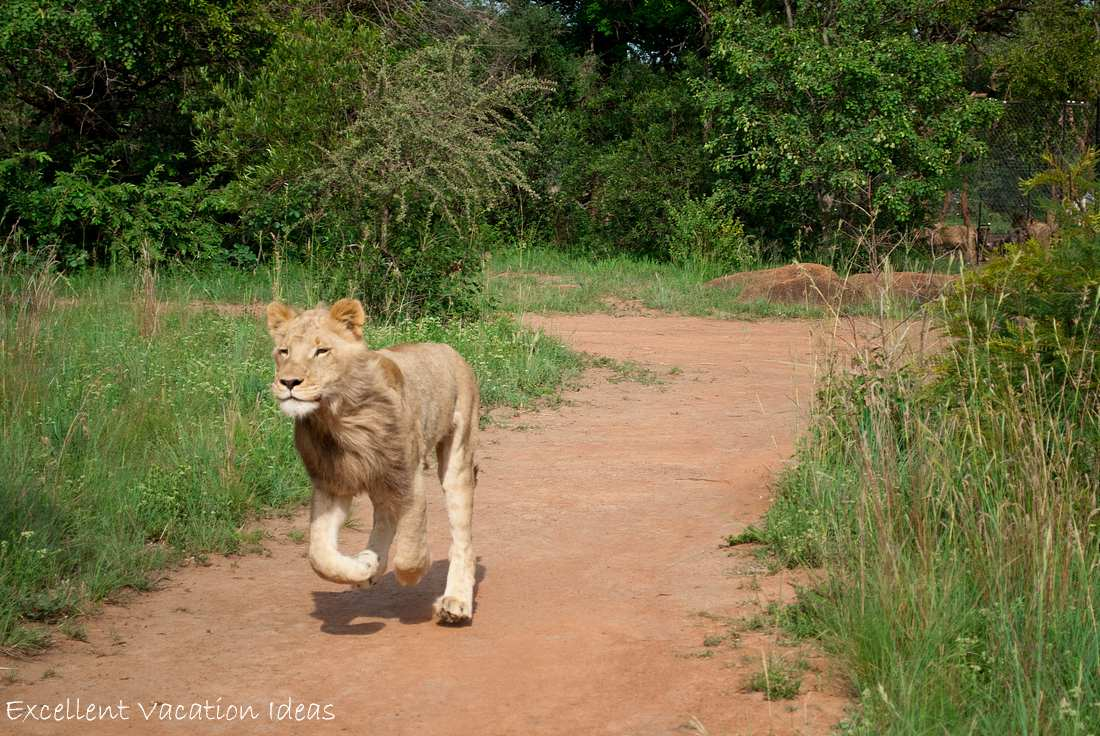 Here comes Puncture a 14th Month Old Lion that walked with us