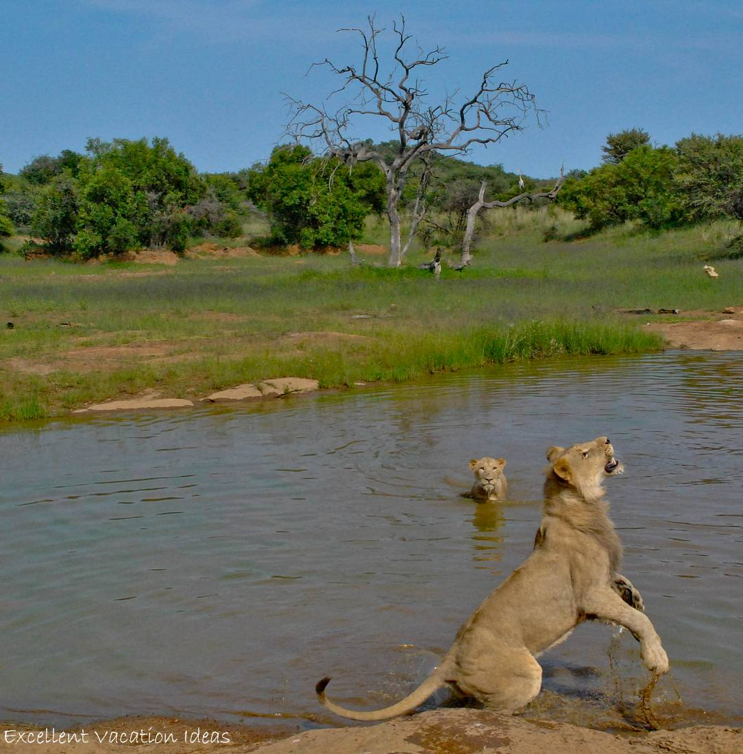 Time for a swim with the Lions
