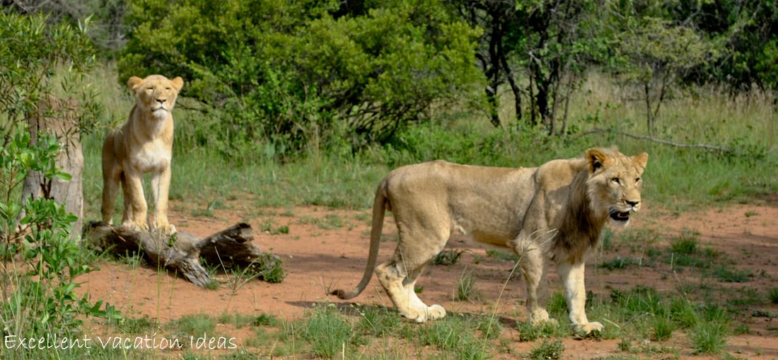 Walk with Lions in South Africa - Puncture and Carly hanging out looking for more treats