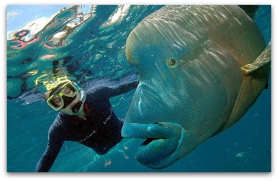Great Barrier Reef - Snorkeling with a Giant Wrasse