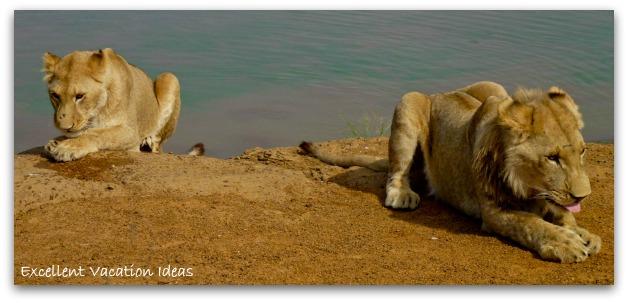 Walk with Lions - having a break